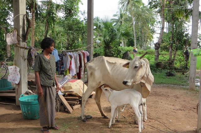 Doneer een koe